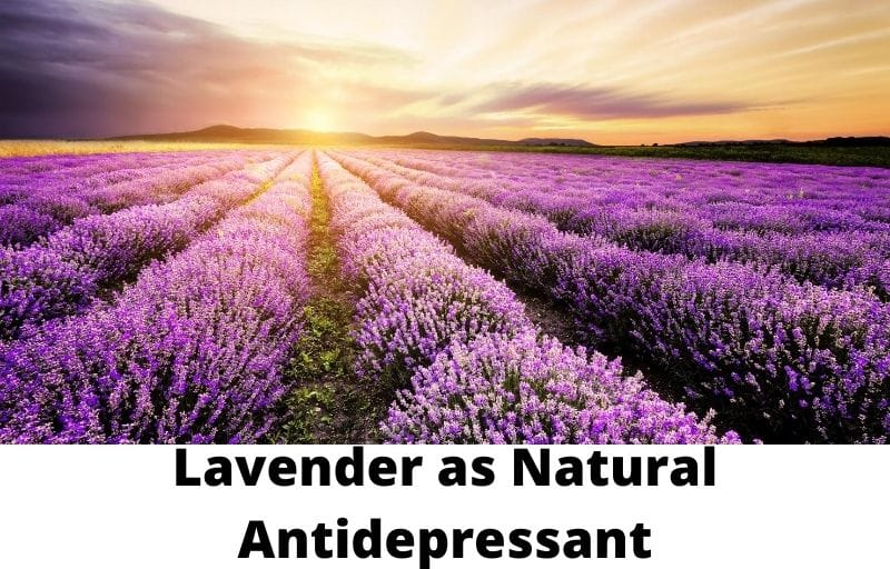 Lavender as Natural Antidepressant