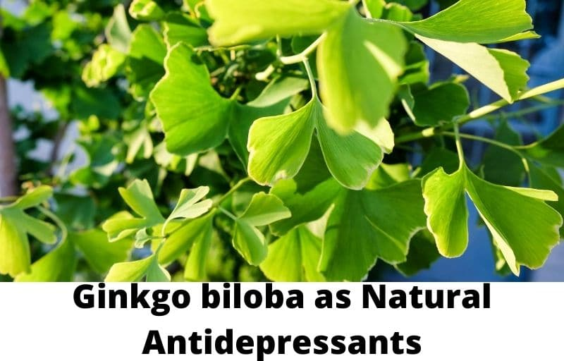 Ginkgo biloba as Natural Antidepressants